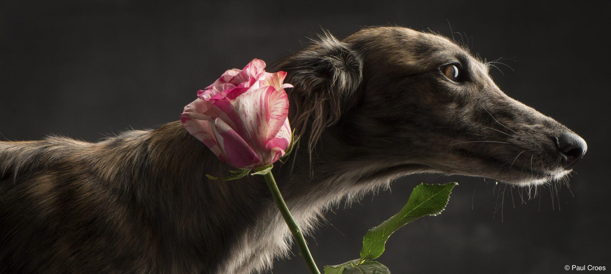 Silken Windsprite Welpen von Kissed by Fairies